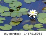Lotus Flowers And Leaves On...