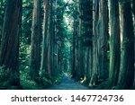 Cedar Trees Road In Nagano Japan