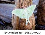 Luna Moth On Cypress Knee