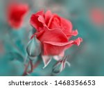 Stock photo red rose flower bloom on a background of blurry red roses in a roses garden nature 1468356653