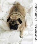 Stock photo pug pug puppy puppy cute puppy sleepy puppy 1468589330