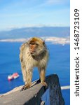 View Of A Wild Barbary Macaque...
