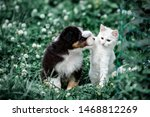 Stock photo cute australian shepherd puppy and white kitten 1468812269