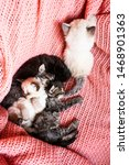 Stock photo  siberian kittens on a pink background color point neva masquerade black white marble kittens 1468901363