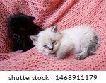 Stock photo neva masquerade siberian kitten with blue eyes and fuzzy black kitten on pink blanket 1468911179