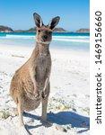 Small photo of Wild Kangaroo on a immaculate white sand beach
