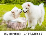 Stock photo two funny samoyed puppies dogs in the basket on the green grass 1469225666