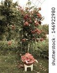Stock photo wheelbarrow with rose in garden 146922980
