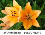 yellowe tiger lilies close up.... | Shutterstock . vector #1469278349