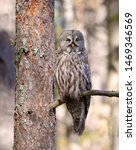 Stock photo  great gray owl strix nebulosa sitting on a branch in the forest the great gray owl is a very 1469346569