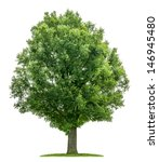Stock photo isolated oak tree on a white background 146945480