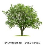 Stock photo isolated deciduous tree on a white background 146945483