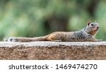 Rock Squirrel Resting On A Ledge