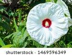 Swamp Hibiscus. White Mallow...