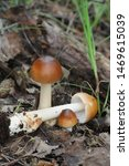 Small photo of Amanita fulva, commonly called the tawny grisette, wild mushroom from Finland