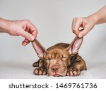Stock photo sleeping young charming puppy and hands of man and woman close up white isolated background 1469761736