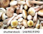 Honey Agaric Mushrooms...