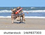 Small photo of Two French Bulldog dogs on vacations playing fetch with a maritime dog toy shaped like a lighthouse at beach on island Texel