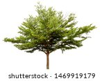 The Tree (Terminalia ivorensis chevy) isolated on white background.