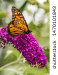 Monarch On Flowering Butterfly...