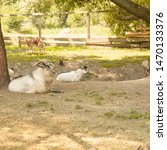 Small photo of Goat, gray goat, pack leader, horned goat, nature reserve, animals, herd of goats, animals, wildlife, omission, herbivores, herd of animals, large animal