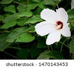 Closeup Of A Swamp Rose Mallow...