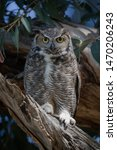 A Male Great Horned Owls Keeps...