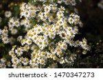 white little chrysanthemums....   Shutterstock . vector #1470347273