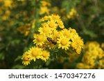 yellow chrysanthemums...   Shutterstock . vector #1470347276