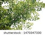 ginkgo biloba branches. living...   Shutterstock . vector #1470347330