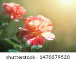 Stock photo red rose flower bloom on a background of blurry red rose in a roses garden 1470379520