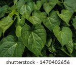 beautiful green betel leaves... | Shutterstock . vector #1470402656