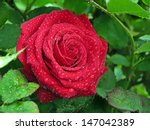 Stock photo branch of roses and raindrops 147042389