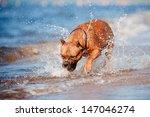 american staffordshire terrier... | Shutterstock . vector #147046274