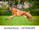 Stock photo german boxer dog playing outdoors with a toy 147046289