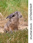 Stock photo cute hare lepus europaeus sitting in the field 1470640469