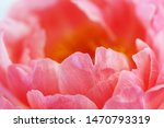 macro petals of dutch pink...   Shutterstock . vector #1470793319