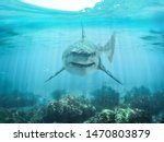 A Predator Great White Shark...
