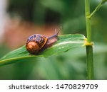 Big Snail In Shell Crawling On...