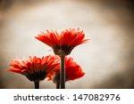 Three Beautiful Red Gerbera An...
