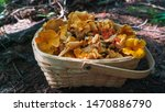 Wild Smooth Chanterelles And...