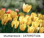 Yellow Tulip Flower In Spring...