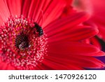 Small photo of Red gerbera whit a wasp, macrophotography with closeup up take on aleatory flower shop on February, 14, 2016.