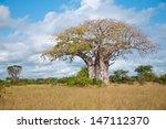 Huge Baobab In Tanzania  ...