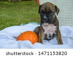 Boxer Puppy And Pumpkin On A...