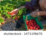 Woman Picking Strawberries From ...