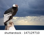 Andean Condor Sitting On Rock ...