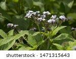 Small photo of garden heliotrope, common heliotrope or cherry pie (Heliotropium arborescens)