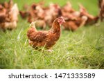 Chickens Walk On The Grass In...