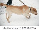 Cute Golden Labrador Walking...